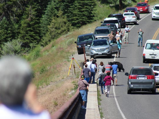 A black bear walks through a crowd to cross Grand Loop Road. Visitors should maintain 100 yards distance from bears and wolves in the park.
