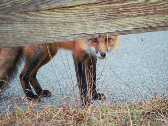 A red fox peeks under a fence at Assateague.
