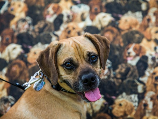 Wally, a 2-year-old puggle, waits for his owners to finish buying treats at the Earthwise Pet vendor during the sixth annual Woofstock at Mercato in North Naples on Sunday, Feb. 25, 2018.