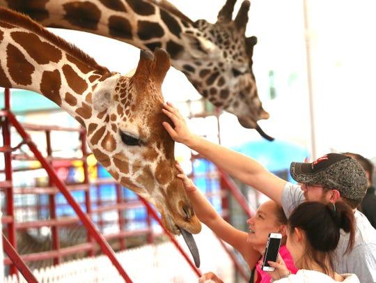 A pair of giraffes at the Coronas Circus Petting Zoo