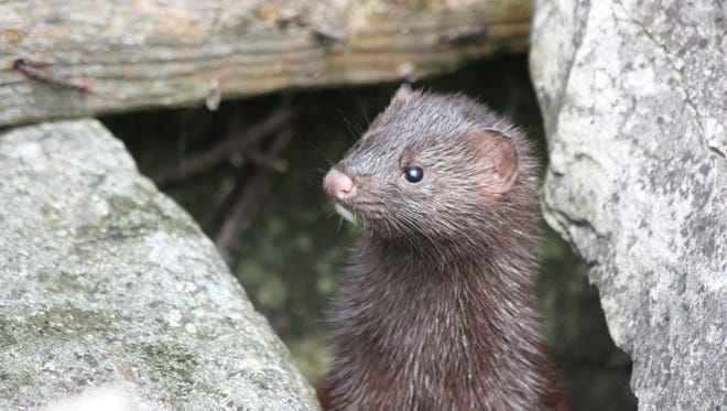 Take your time exploring the Detroit River and you'll catch glimpses of small creatures like this mink.