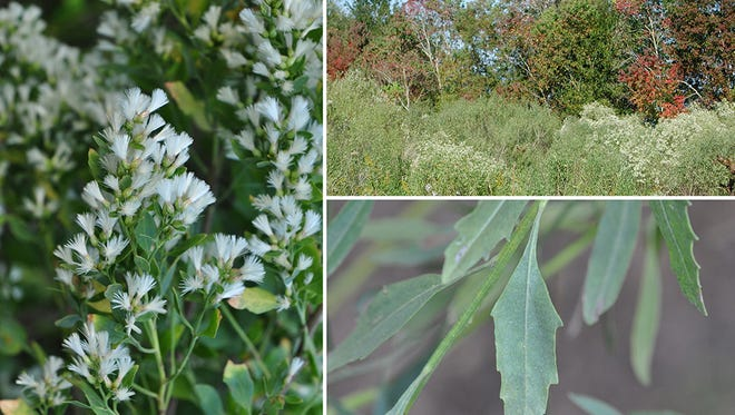 Creoles, Acadians and Native Americans used the groundsel bush in folk medicine remedies.