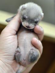 Black footed ferret.