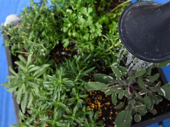 Watering herbs at Cliff Ave Greenhouse.