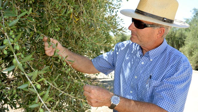 Vito DeLeonardis inspects a Manzanilla olive tree on his ranch in Ivanhoe. This particular batch of olives will be ready for harvest in September