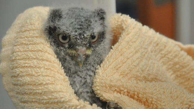 A baby eastern screech owl is one of the critters needing baby shower items.