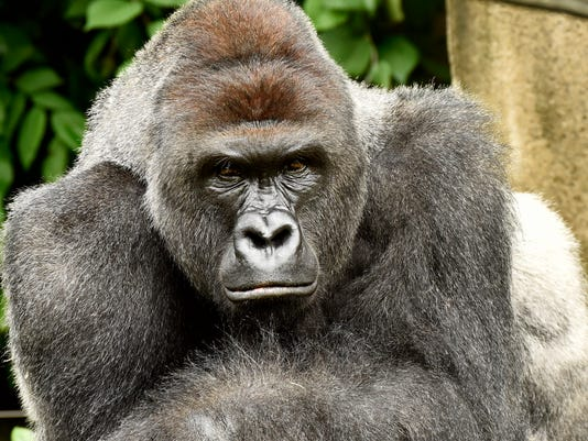 Gorilla Killed After 3 Year Old Falls Into Zoo Enclosure