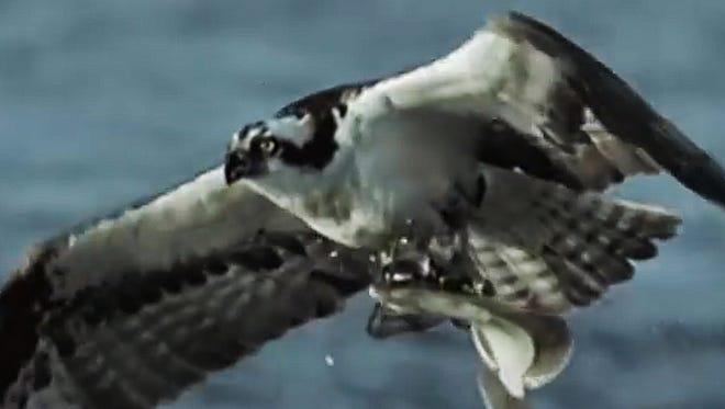 An osprey carries a flounder.