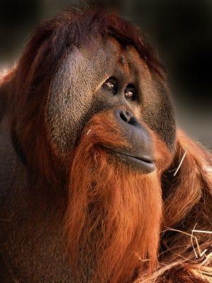 Azy the orangutan