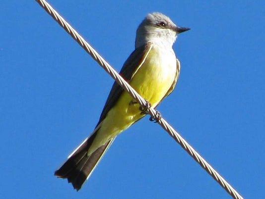 western-kingbird.jpg