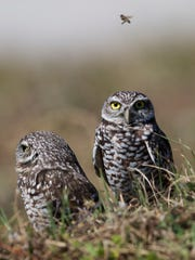 Cape Coral burrowing owls hang out in an open lot in October of 2016.