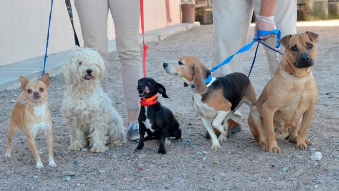 These dogs have tested positive for heartworm. The Animal Services Center of Mesilla Valley is seeking new owners who will commit to helping these dogs recover from the potentially fatal disease.
