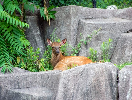 636057430611496759-Milwaukee-County-Zoo-welcomes-new-Elk-calf.jpg