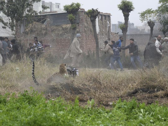 A leopard attacks a man as others run to safety in