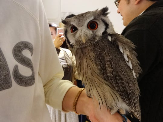 A wide variety of owls is on view at Fukuro no Mise in Tokyo. Guests are told to pet the owls only on the back or head, and shown how to quiet the birds if they start flapping their wings.