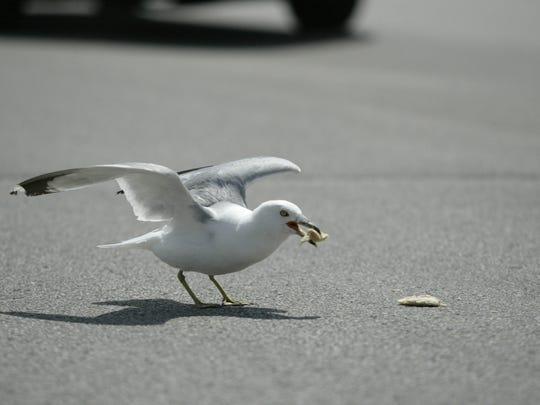 Schukow said seagulls have been increasingly aggressive