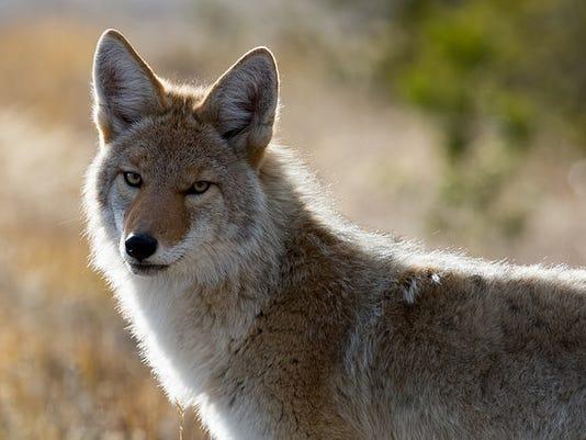 635956495512773932-Coyote-Upper-Geyser-Basin-credit-Neal-Herbert.jpg