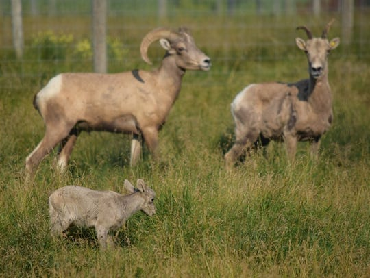A new female bighorn sheep and her lamb arrived at