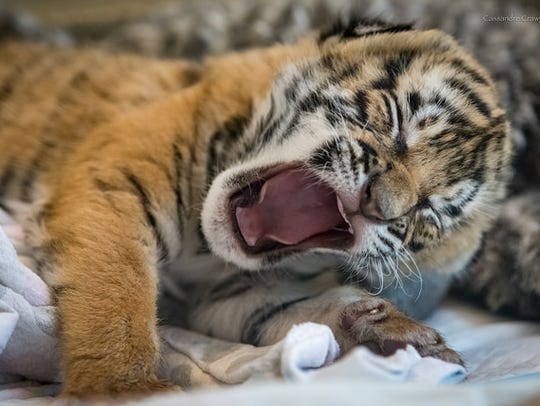 A Malayan tiger cub at the Cincinnati Zoo.