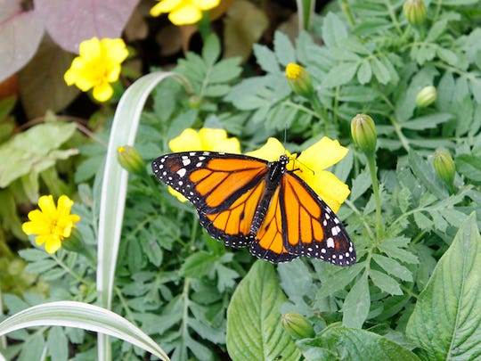 A butterfly at the 2016 Butterfly Show at Krohn Conservatory.