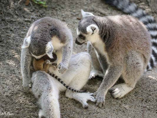 636371976390395747-lemurs-and-baby.jpg