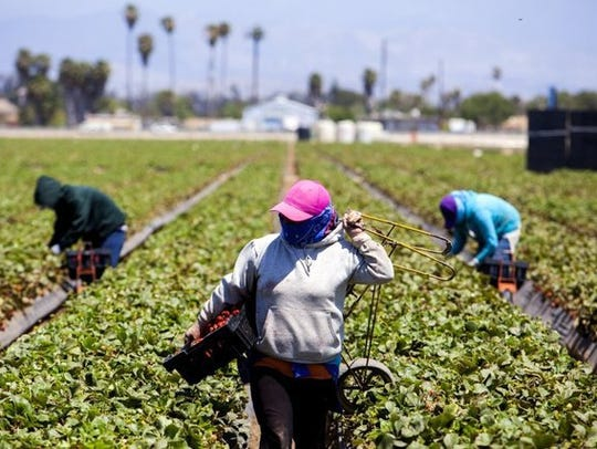 Farmworkers harvest strawberries in Ventura. Star file photo