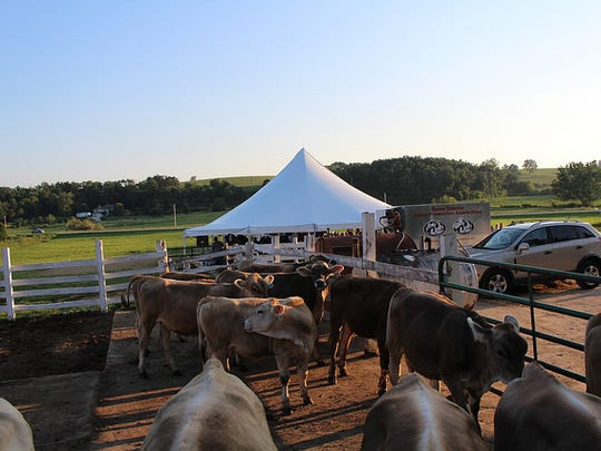 Brown Swiss dairy cattle mill about on the cow yard at Voegeli Farms, Inc., near Montello, the site of the Farm to Table dinner on Aug. 19.