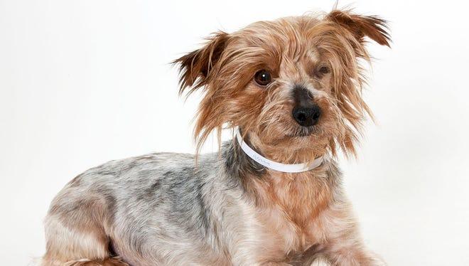 Yogi, a 4-year-old male Yorkie dog. No. 95224.