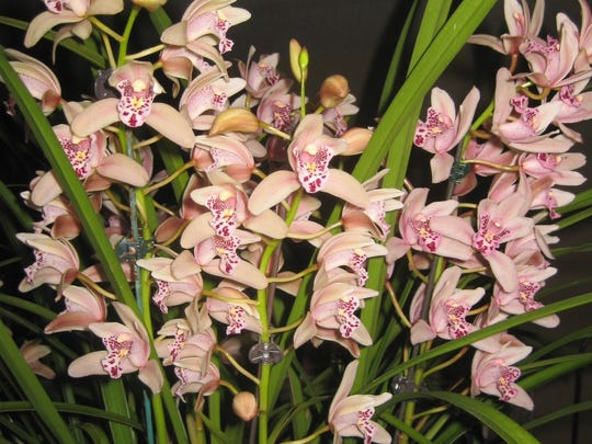 Cymbidium orchids, such as this pink Flirtation, will
