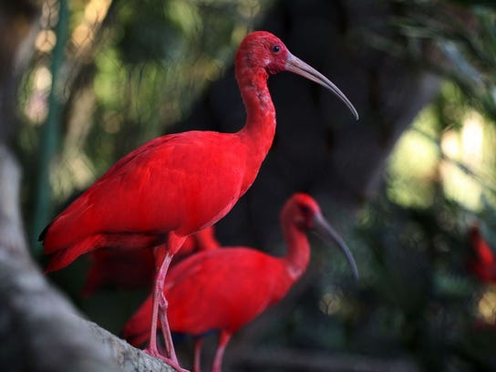 The scarlet ibis is the national bird of the dual-island nation