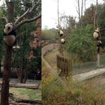 Bao Bao hangs out in a tree at the National Zoo in DC