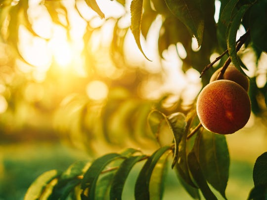 Peach trees may not drop leaves right away in desert winters.