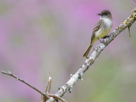 An eastern phoebe holds a small insect in its beak Tuesday morning in Turkey Run Park at The Parklands. The small fly catcher's name is a reference to the sound of its raspy call. They are one of the earliest returning migrants in the spring. April 19, 2016