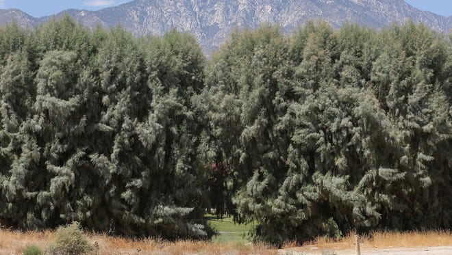 A row of tall tamarisk trees separates the Crossley Tract neighborhood of Palm Springs, Calif., from the city-owned Tahquitz Creek Golf Course on the other side. The mayor said Sunday, Dec. 17, 2017, the trees would be removed.