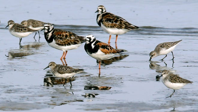 Ruddy turnstones and semipalmated sandpipers walk near the shoreline at Kimbles Beach in Middle Township.