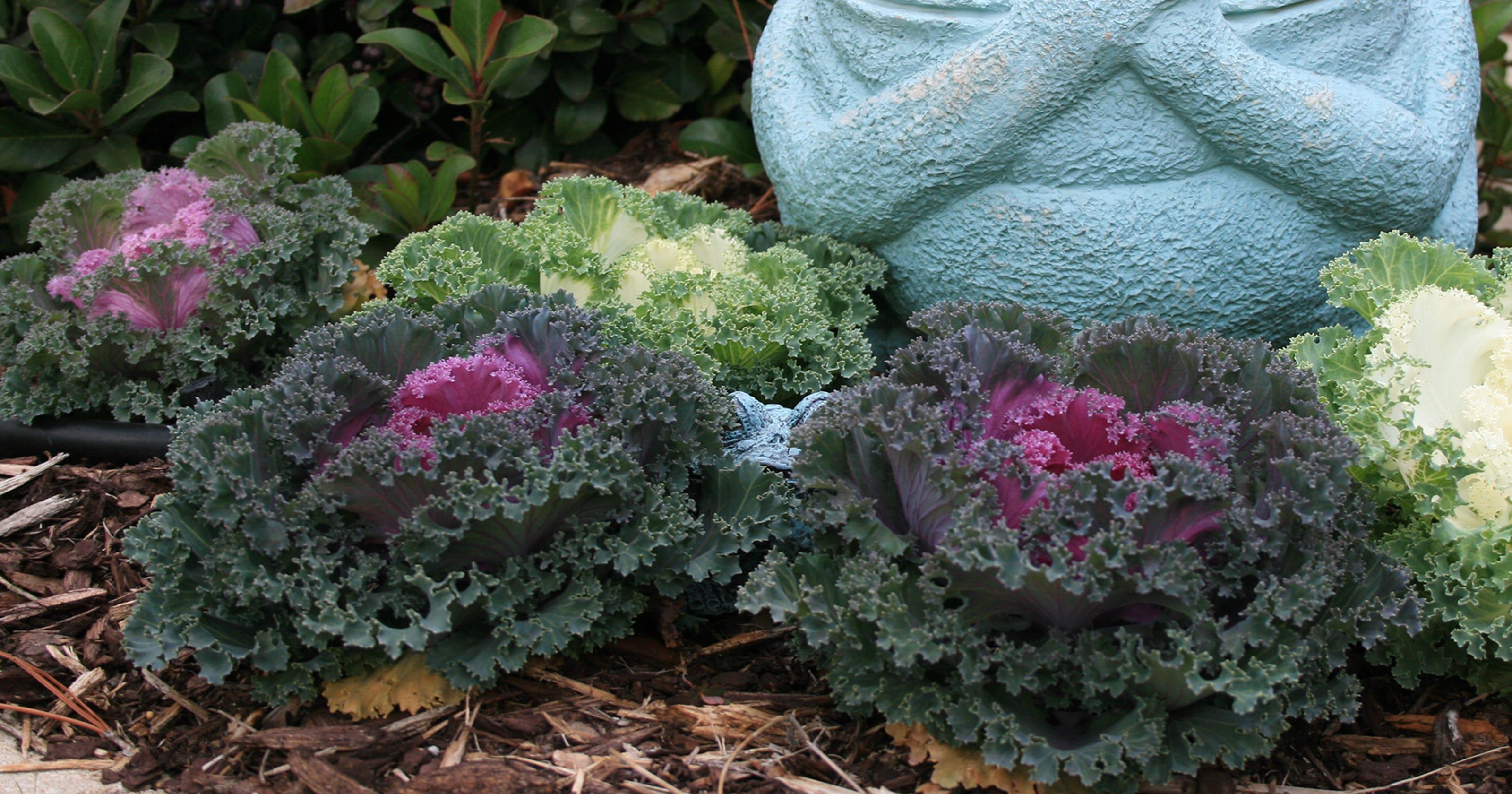 Ornamental Cabbage Kale Make Excellent Winter Color