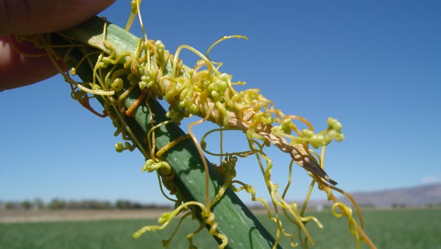 Dodder, a parasitic weed, has been reported in Lyon County.