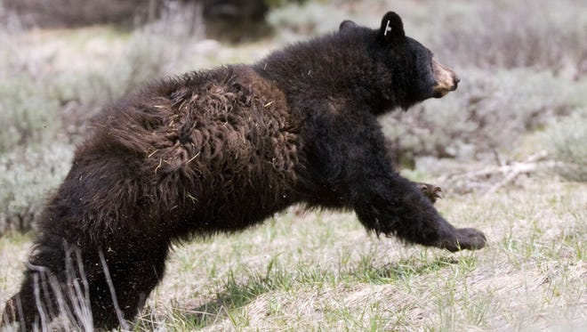 A black bear captured by the Nevada Department of Wildlife runs to freedom after its release. RGJ file A Lake Tahoe couple is suing over threatening remarks made to them after they reported a bear had broken into their property. The bear was later killed by state officials. Published caption: Patrick Cummings/Dayton Courier file photo The Nevada Department of Wildlife released five black bears into the Carson Range of the Sierra Nevada in May.  In 2007, the number of complaints about bears reached high of 1,531, according to the Nevada Department of Wildlife.  ooo  Nevada Department of Wildlife released five black bears into the Carson Range of the Sierra Nevada on May 29, 2008.  The bears were kept in Idaho at Idaho Black Bear Rehabilitation Center over the winter after being orphaned last year when their mothers were lost to various reasons around the Lake Tahoe area.
