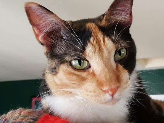 Cinderella is one of the adoptable cats who will attend Animal Village NM's 'Santa Paws' event Saturday, at the White Sands Mall.