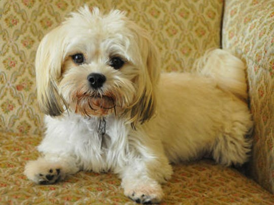Kay Lawler of South Patrick Shores has had some serious vet bills for Annie Baby, the Lhatese (mix of a Lhasa Apso and Maltese) puppy she bought a year ago. The dog's body was not producing red blood cells, and her vet and lab costs are close to $6,000 in the last year.