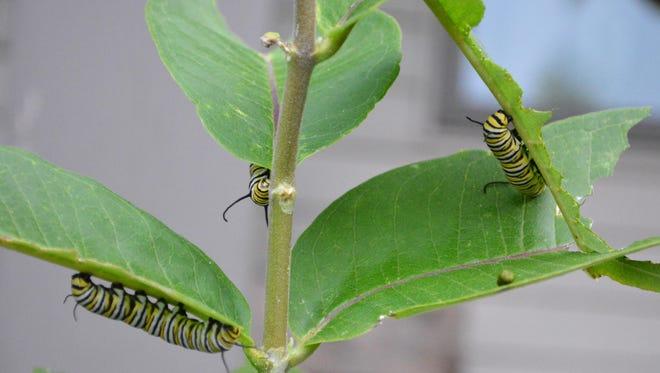 Three monarch caterpillars munch on a milkweed plant.