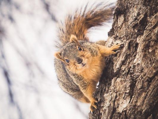 Cute Fox Squirrel On Tree Trunk Bark
