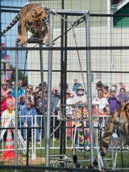 A tiger walks the tightrope during the Bruno's Tigers
