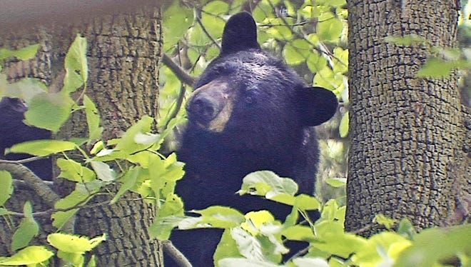 The Natural Resources Board approved a record 12,970 hunting permits for the 2018 Wisconsin bear hunting season.