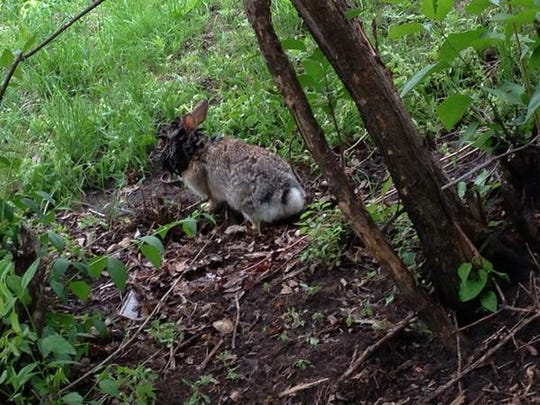 This photo taken in May 2013 shows a rabbit with many growths on it. It was taken on 20th Street, just east of McKennan Park, in Sioux Falls.