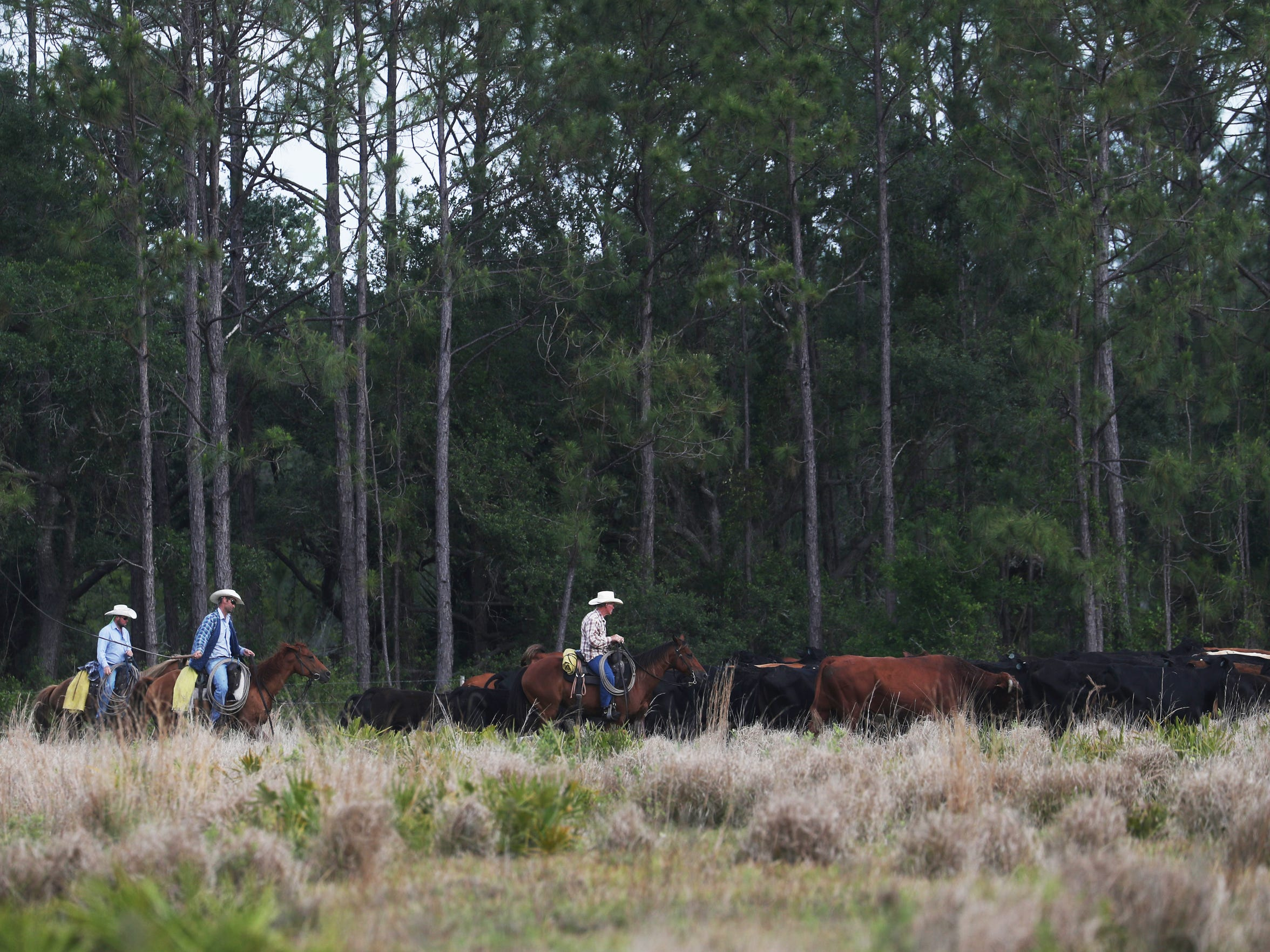 Cowboys move cattle along State Road 29 between LaBelle and Palmdale April 16, 2018. This area is near Fisheating Creek which runs into Lake Okeechobee. Ranchers are often blamed for nutrients in Florida waterways.