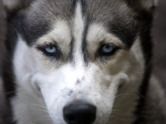 "Huskies resemble the ""direwolves"" used on the hit TV series ""Game of Thrones."""