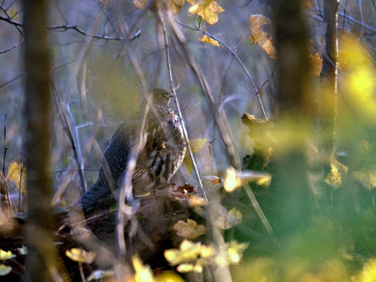 """The name """"ruffed"""" grouse comes from its long, shiny,"""