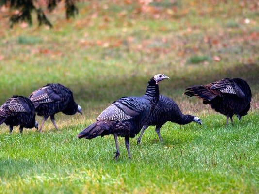 Upland Gamebirds: Wild Turkey