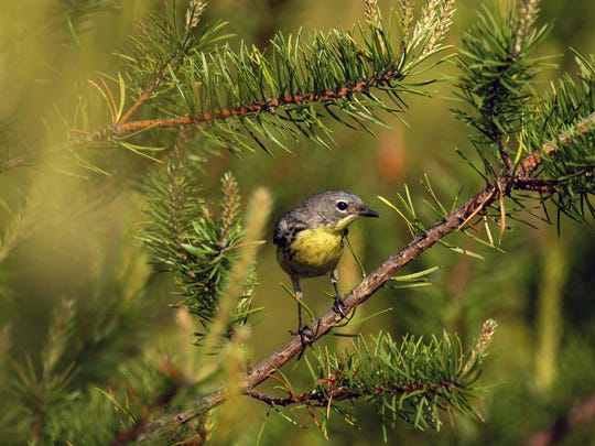 Kirtland's warblers depend on young jack pine forests to build their nests. Keeping these forests young is critical to the survival of this bird species.